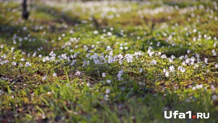 Первые подснежники появились в Уфе. Цветочный фоторепортаж UFA1.RU