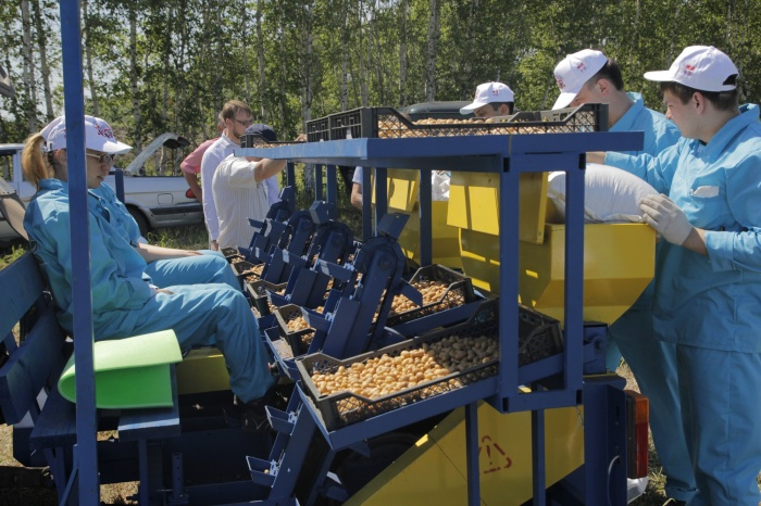 Под Новосибирском посадили 30 га картофеляв рамках эколого-географического эксперимента