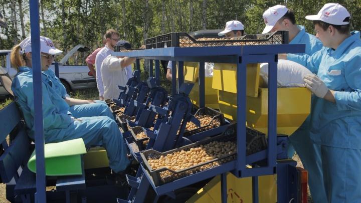 Под Новосибирском экспериментальным картофелем из Китая засадили гектары земли