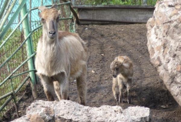 В Большереченском зоопарке родился резвый краснокнижный тар