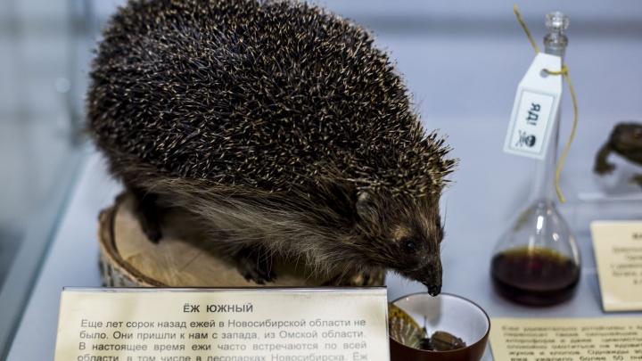 Новосибирцам показали лечебного таракана и устойчивого к ядам ежа
