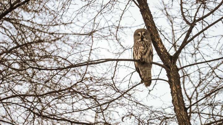 Не то, чем кажется: почему совы прилетают во дворы Екатеринбурга и надо ли их спасать