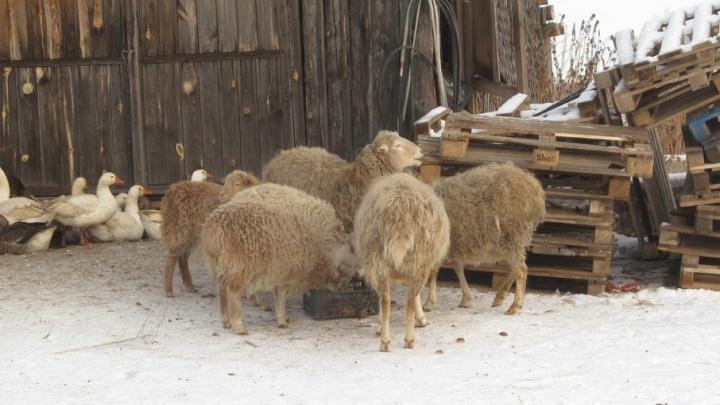 Овцы целы: в Варгашинском районе полицейские вернули похищенных животных домой