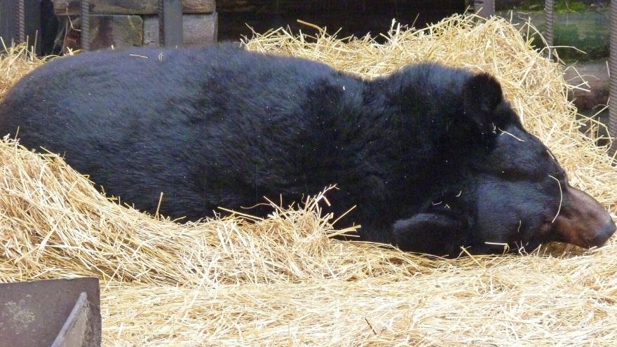 Медведь Кузя из Большереченского зоопарка готовится к спячке прямо на улице
