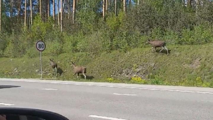Екатеринбуржец снял на видео трех молодых лосей, гулявших вдоль Россельбана