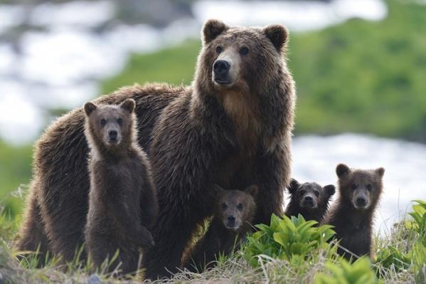 Герои фильма — две медведицы и их медвежата