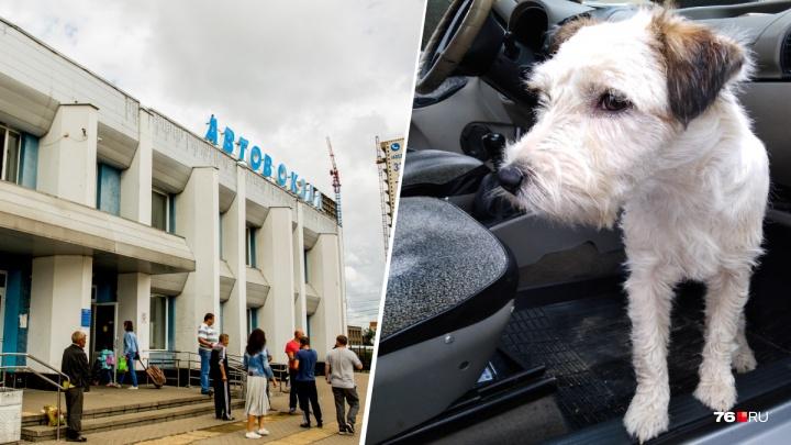 «Было пролито море слёз»: потерявшийся пёс вернулся в Ярославль к хозяевам на автобусе