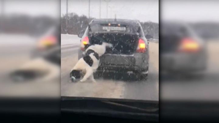 В соцсетях обсуждают видео, на котором алабай выпрыгивает из багажника машины на трассе
