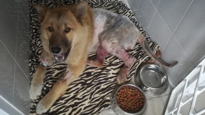 Пёс подрался с собаками и 4 дня пролежал вмёрзшим в лужу крови. Его спасают волонтёры