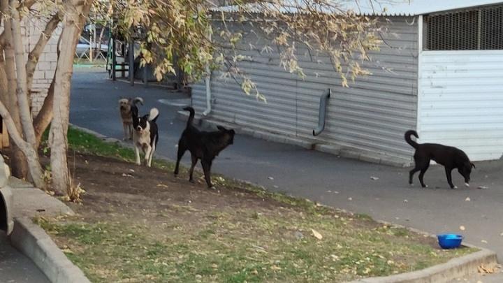 Свора собак держит в страхе жителей Ладо Кецховели