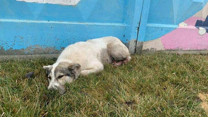 «Лежит и никуда не уходит»: раненая собака прибилась к волгоградскому аэропорту в поисках помощи