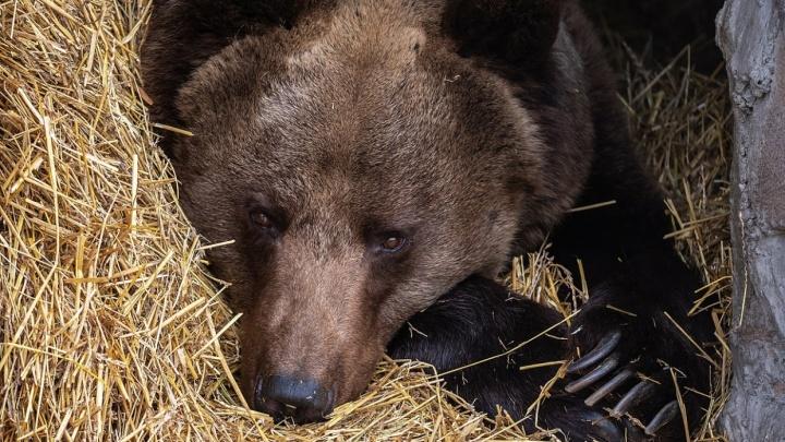 Красноярский ученый нашел причину частых нападений медведей на людей