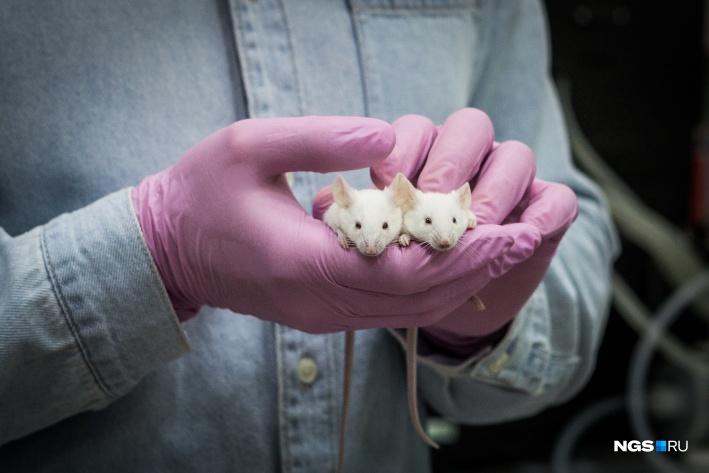 Эти две мыши помогают изобрести лекарство от хронического воспаления легких (ХОБЛа). Они уснули и проснулись на наших глазах