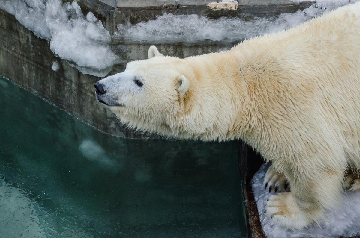 В ближайшие дни спустят воду в вольере белых медведей
