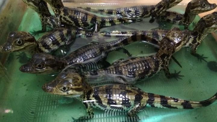 «Мимишные зубастики»:самарцев приглашают погладить крокодиловых кайманов