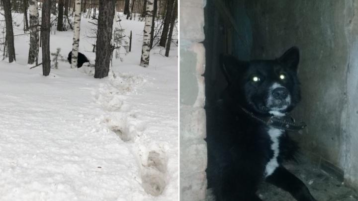 Неизвестные сбили собаку и оставили умирать в сугробе. Её спасли неравнодушные жители