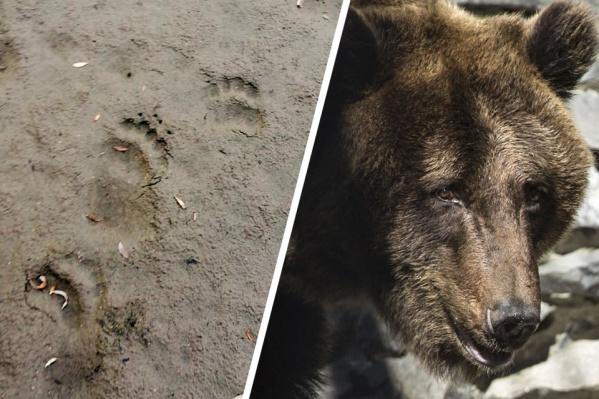 Медведи пришли в Новосибирскую область из-за лесных пожаров в соседних регионах