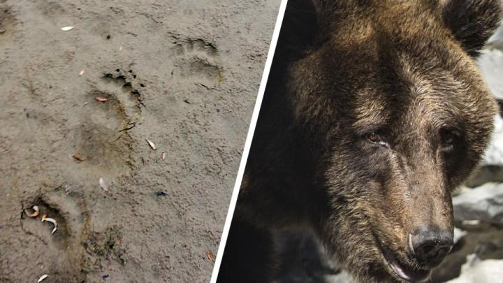 В Новосибирскую область ринулись медведи из горящей тайги