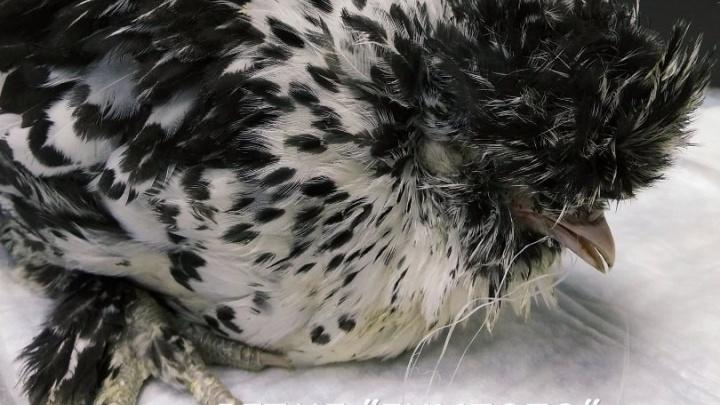 Ветеринары спасли молодую курочку с намотавшейся на язык ниткой