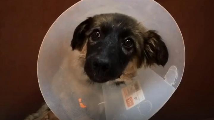 «Вырвана задняя лапа»: волгоградка пытается спасти покалеченного щенка
