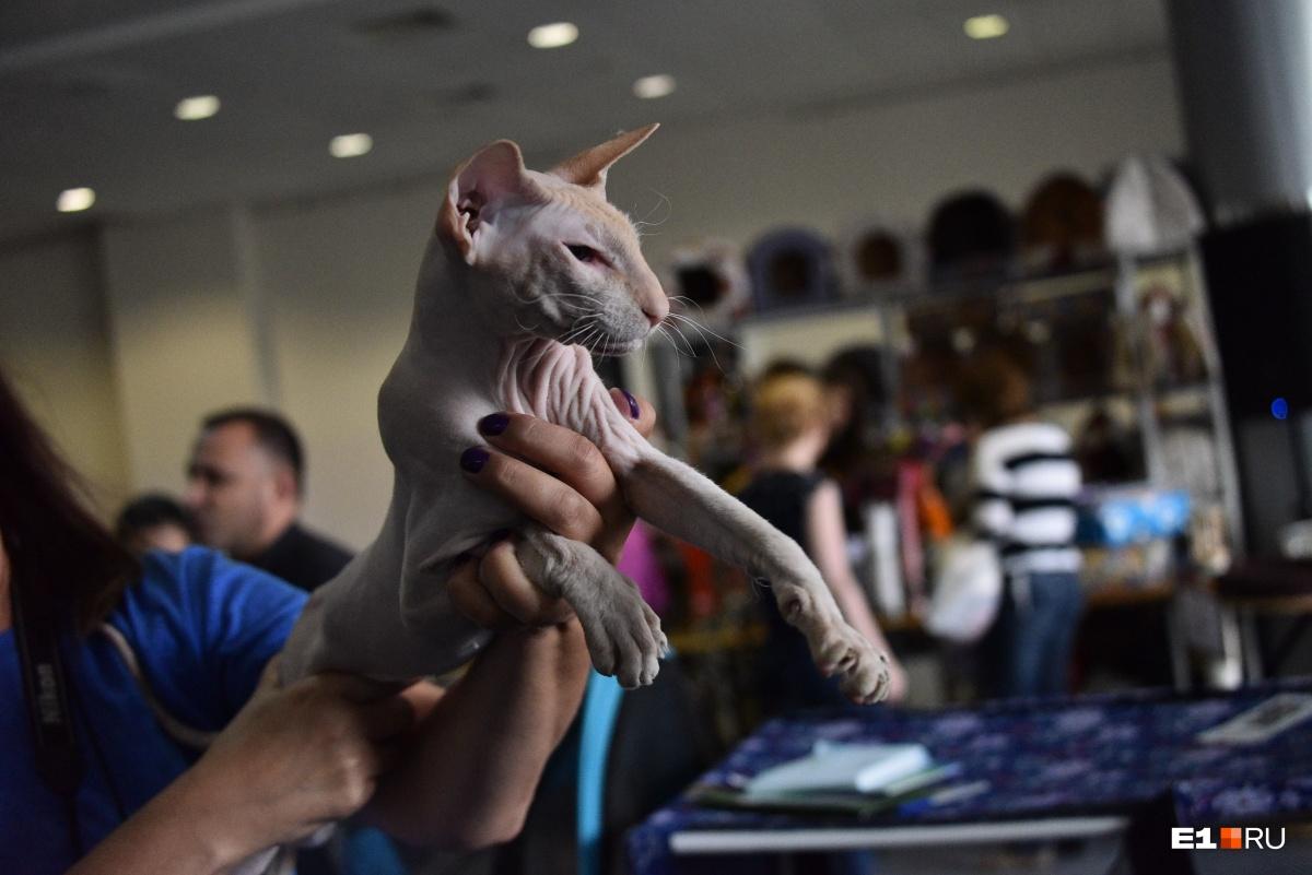 На выставке собрались и лысые, и пушистые котики