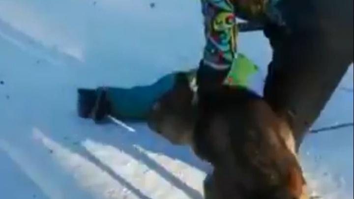 «Ухватил малыша за ногу»: в челябинском парке волк напал на ребёнка