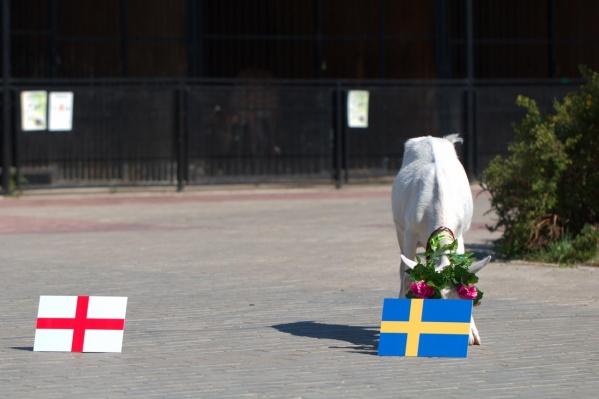 Животное отдало свои симпатии Швеции