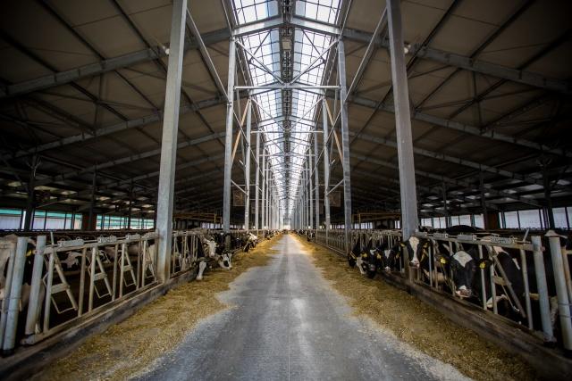 В хозяйстве 4,5 тысячи дойных коров, а всё поголовье стада доходит до 10 тысяч