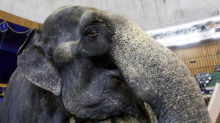 По центру Волгограда проведут слона
