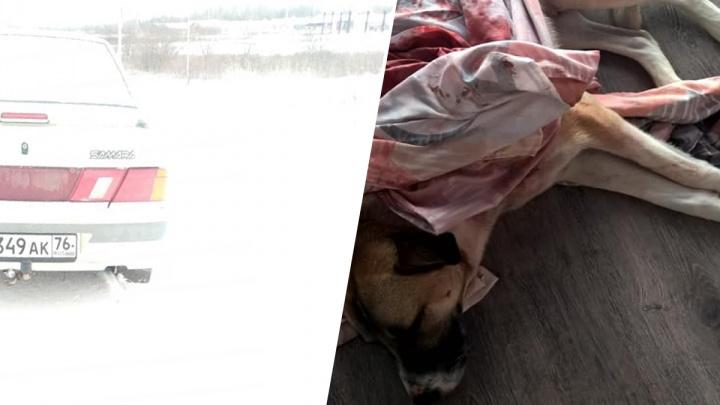 «Так могут и в людей»: под Ярославлем ради забавы выстрелили в собаку