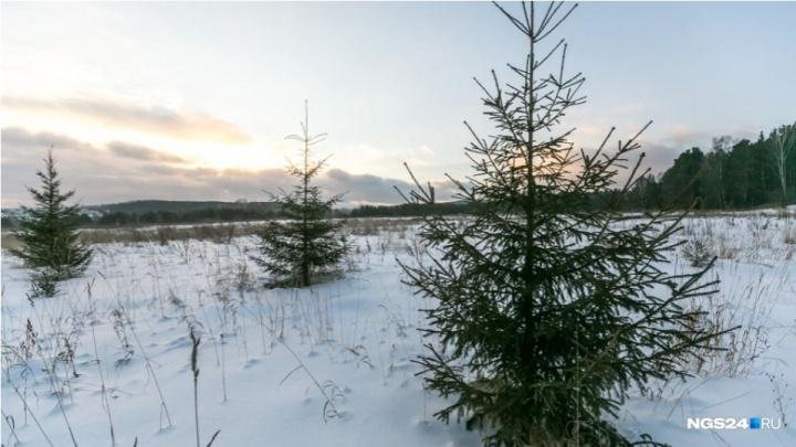 Первых рубщиков елок к Новому году стали ловить на трассах