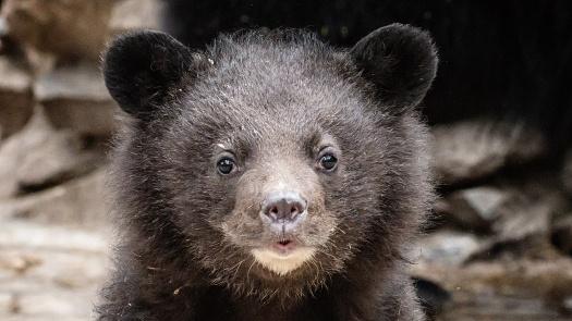 Новосибирцам показали новорождённых лунных медвежат