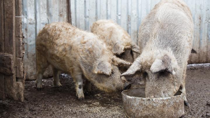 Поголовье под нож: в Камышинском районе из-за чумы уничтожат крестьянских свиней
