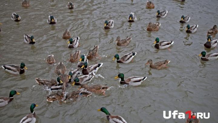 В уфимский парк прилетели дикие утки