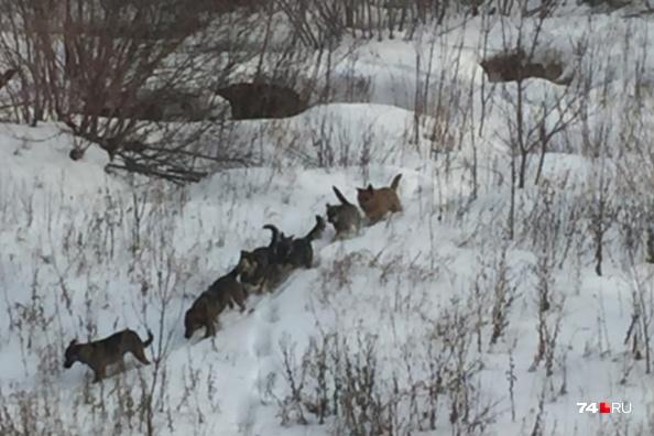 Стаи бродячих собак челябинцы наблюдают в разных районах города