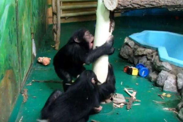 Поведение шимпанзе напоминает процесс обдирания старых обоев