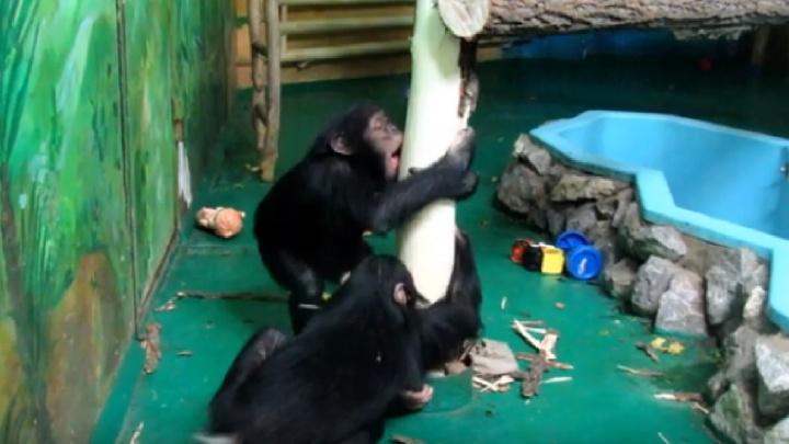 Мохнатые хулиганы: шимпанзе Филя и Люся из зоопарка сделали необычный ремонт в вольере