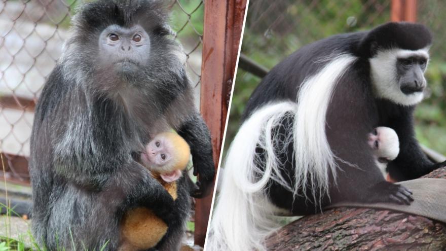 Как апельсинка и снежок: в Пермском зоопарке родились обезьянки необычных цветов
