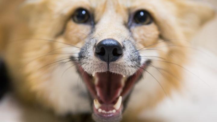 В Новосибирской области нашли очаг бешенства: там три месяца будут отстреливать корсаков