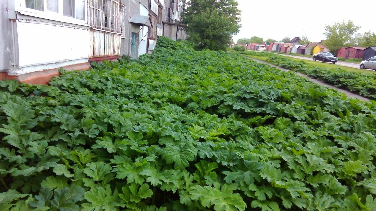 Растение разрастается очень быстро