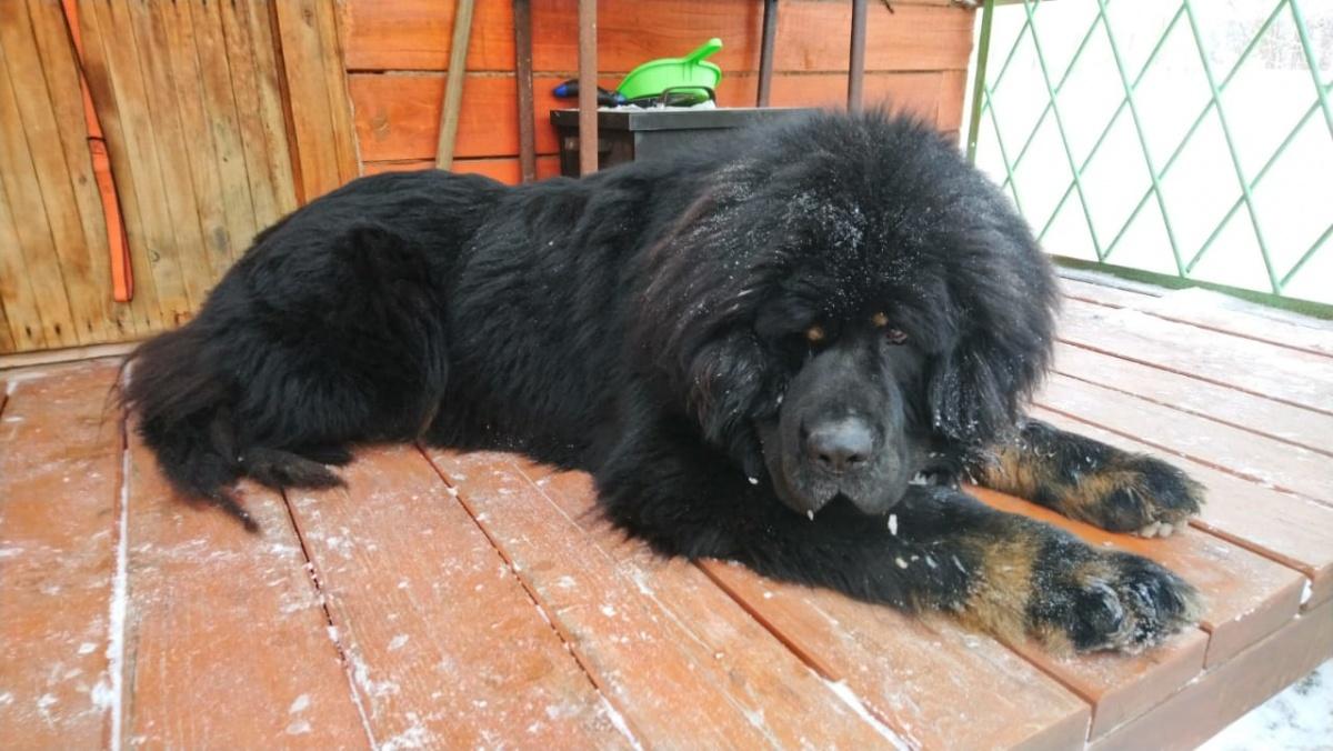 Хозяева считают, что собаку либо отравили, либо нанесли удар электрошокером. Вес взрослой собаки — порядка 80 кг
