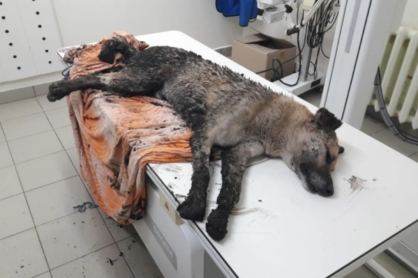 Пса нашли в канаве неравнодушные тюменцы. Его сразу же отвезли в клинику