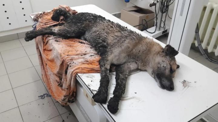 «Седьмой случай за полгода»: на Маяке тюменцы расстреляли дворовую собаку
