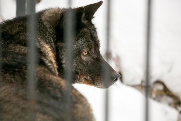 Волки представляют опасность для маралов и косуль