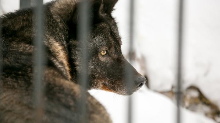 В Балахтинском районе разрешили без счету отстреливать волков