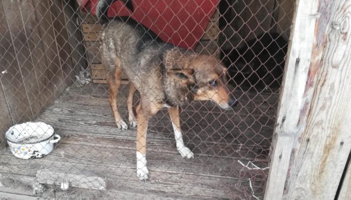 В Кургане ужесточат требования к отлову бездомных собак