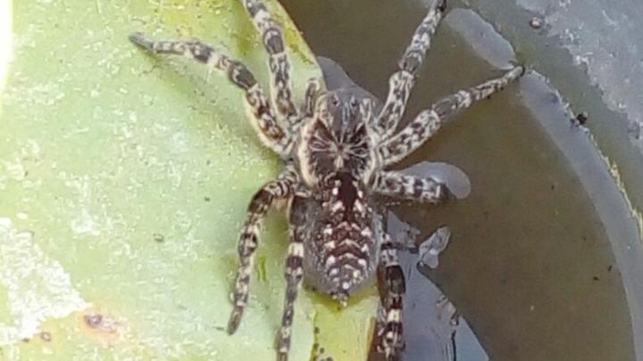 Жительница Башкирии нашла на грядке ядовитого тарантула