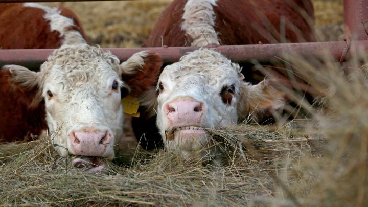 В Башкирии из-за половодья погибли полтора десятка коров, хозяева искали их несколько дней