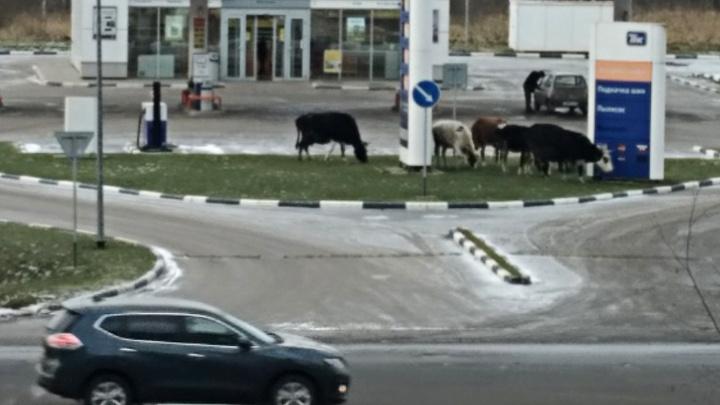 «Молоко на бензине»: в Ярославле коровы пришли пастись на заправку