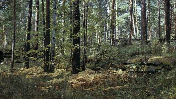 Работницу заповедника в Челябинской области задержали за вырубку 120 деревьев